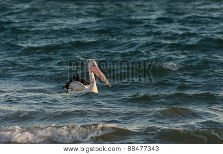 Pelican Swimming In The Sea