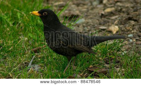 Blackbird in the grass fielding earthworms