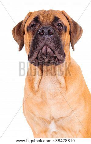 Bullmastiff Puppy Barking Loudly
