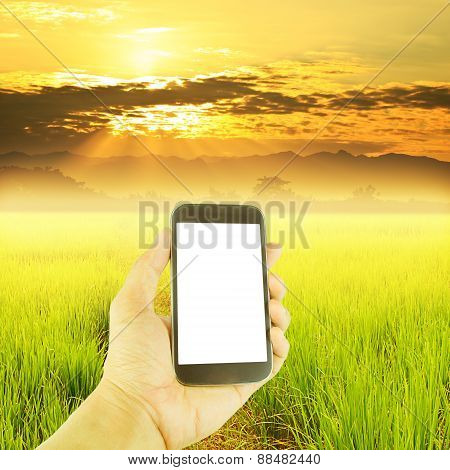 Hand Holding Smart Phone Green Paddy Rice In Field And Sky Sunset