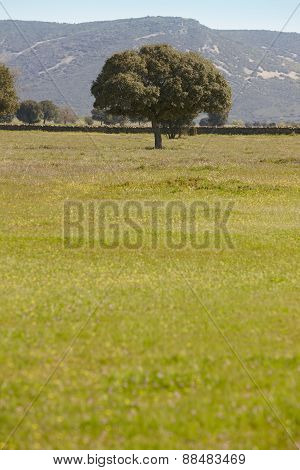 Oak Holm In A Mediterranean Meadow Landscape. Cabaneros, Spain