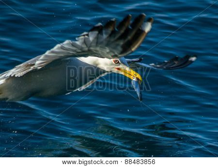 Fish in Seagull`s beak