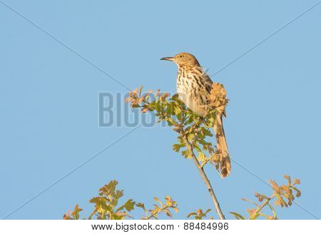 Brown Thrasher sitting on top of an oak tree in early spring evening sun, against clear blue sky
