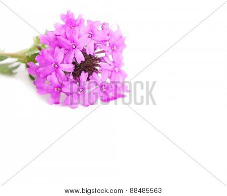 Purple Prairie Verbena on white, with copy space