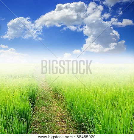 Green Paddy Rice In Field And Blue Sky With White Cloud