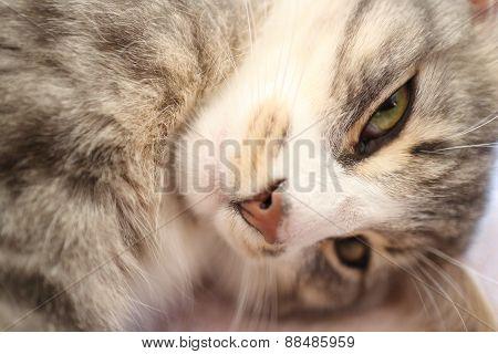 A Grey Cat
