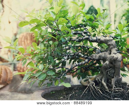 Bonsai Tree Outdoors