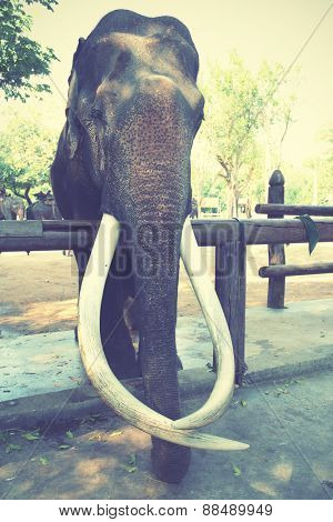 Old asian elephant with long tusks. Instagram style filtred image.