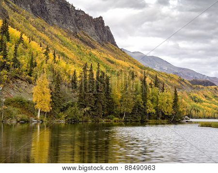 Alaska Aspen Forest in Autumn