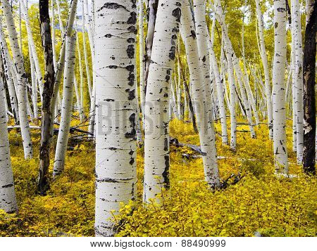 Alaska Aspen Forest - Early Autumn