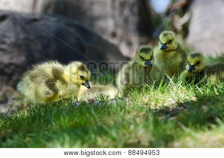 Newborn Gosling Looking Closely Into The Grass
