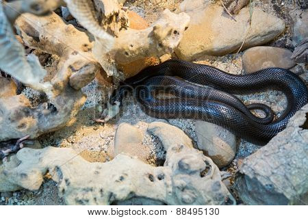 Snake protecting his eggs in sand