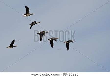 Flock Of White-fronted Geese Flying In A Cloudy Sky