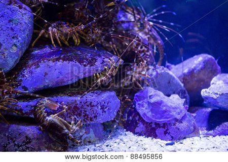 Shrimp hiding in stones in a tank at the aquarium