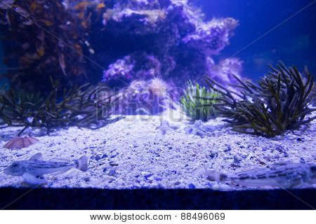 Black sea anemone in a tank at the aquarium