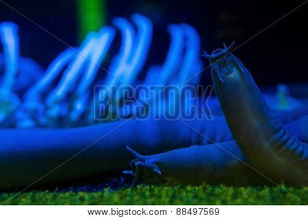 Sea slug in a darkest tank at the aquarium