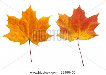 Autumn. golden leaves maple isolated.