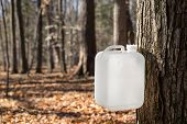 picture of maple tree  - A white bottle is collecting sap from a sugar maple tree in traditional rural fashion - JPG