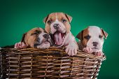 image of american staffordshire terrier  - Puppy American Staffordshire Terrier studio portrait dog on a color background - JPG
