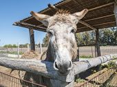 stock photo of headstrong  - Donkey on a farm - JPG