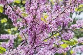 pic of judas tree  - Judas tree flower  - JPG