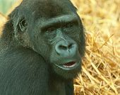 picture of lowlands  - photo portrait of a female lowland gorilla - JPG