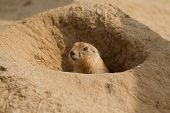 pic of prairie  - photo of a prairie dog poking it - JPG