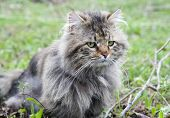 stock photo of mimicry  - not purebred cat outdoors - JPG