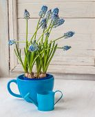 stock photo of nod  - Blue muscari in blue cup with decorative watering can on the window - JPG