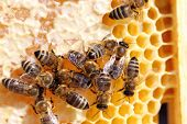 stock photo of honey bee hive  - honey bees on a beeswax frame in bee hive - JPG
