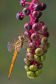 stock photo of pokeweed  - A yellow dragonfly is holding on to the berries of a pokeweed plant - JPG