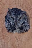pic of nesting box  - Western Screech - JPG