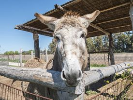 picture of headstrong  - Donkey on a farm - JPG