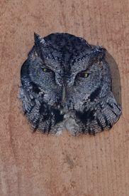 foto of screech-owl  - Western Screech - JPG