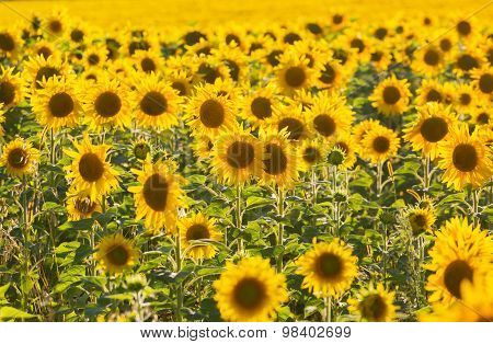 Big Field Of The Blossoming Sunflowers Lit With The Bright Summer Sun