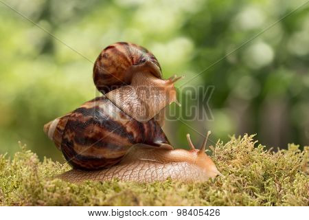 big snail carries little snail on moss on the background of leaves