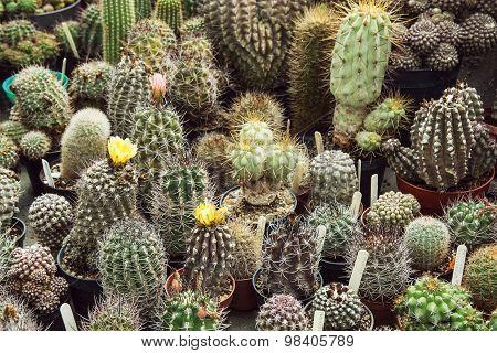 Various Cacti Mix
