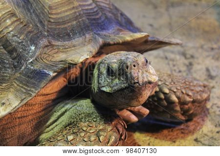 African Spurred Tortoise at the zoo