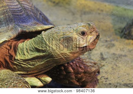 African Spurred Tortoise in the Krasnoyarsk zoo