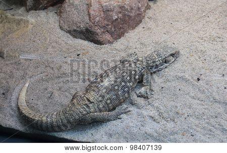 Steppe lizard