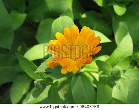 Garden Marigold