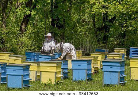 Apiarist work in bee-garden