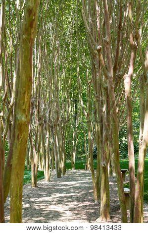 Birch Trees Along Garden Walk