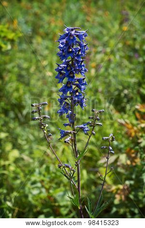 Delphinium Flower  In A Forest Glade.