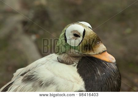 spectacled eider duck