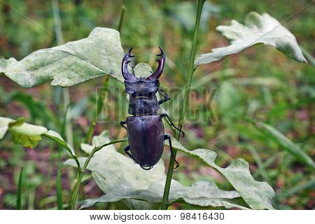 Male Stag Beetle.