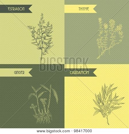 Cooking herbs and spices. Thyme, estragon, ginger, cardamom. Retro hand drawn vector illustration