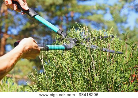 Cutting A Hedge With Garden Shears