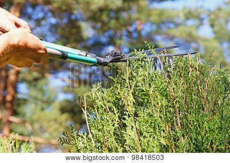 Gardener Cutting A Hedge With A Pruning Scissors