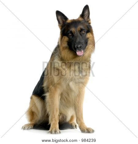 German Shepherd / Alsatian / Police Dog